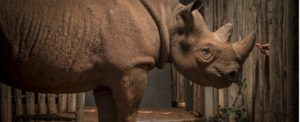 Eric the rhino on 10,000-mile mission to find love